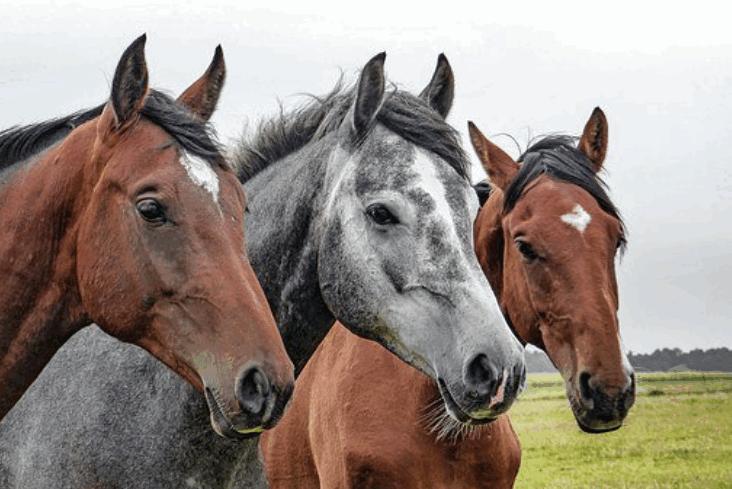horse breed1