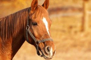 horsebreed7